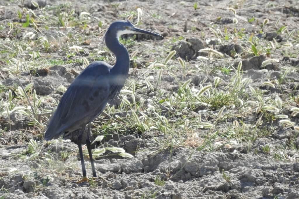Western Reef Heron, Doñana National Park